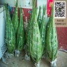 20公斤芦荟